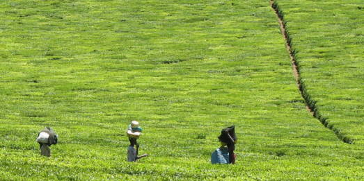 Kisii tea pickers trudge through plantations on their way to safety in Kericho town